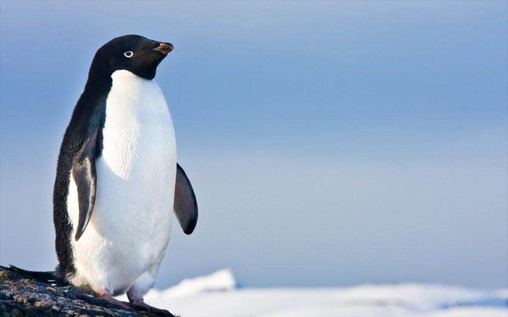 Xαριτωμένος πιγκουίνος πηδά σε βάρκα με τουρίστες για να γλιτώσει από φάλαινα(video)