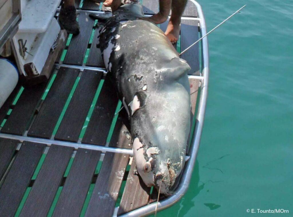 Κτηνωδία: Σκότωσαν με ψαροντούφεκο τη φώκια – μασκότ της Αλοννήσου